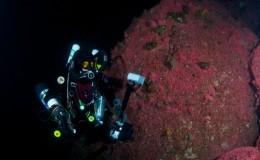 strawberry anemones ccr diver